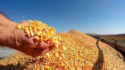 برآورد فراوری بالغ بر 200 هزار تن ذرت دانه ای در کرمانشاه، دومین فراوریکننده کشوریم